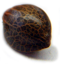 Cómo elegir semillas de marihuana